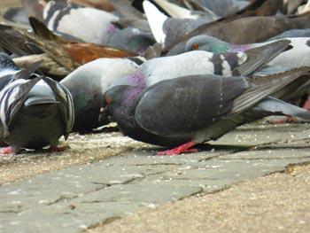 Control-de-Plagas-de-palomas-en-Santiago