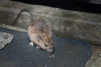Control-de-Plagas-de-ratones-en-Santiago