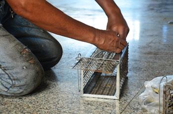 Desratizaciones-en-Santiago-control-de-plagas-de-ratones