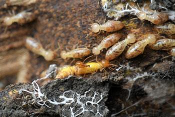 Fumigacion-de-Empresas-en-Santiago-fumigación-de-termitas